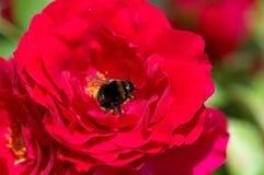 Rosa rossa con il bombo che raccoglie polline immagine stock libera da diritti