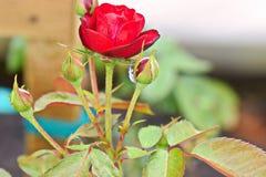 Rosa rossa con l'insetto Fotografia Stock