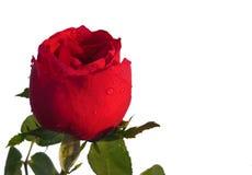 Rosa rossa con la gocciolina di acqua delle foglie isolata su fondo bianco Fotografie Stock Libere da Diritti
