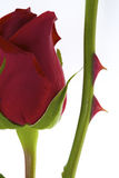 Rosa rossa con la spina Fotografie Stock Libere da Diritti