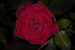 Rosa rossa con la vista superiore della goccia di acqua Fotografia Stock