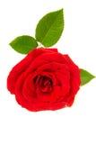 Rosa rossa isolata Fotografie Stock