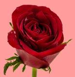 Rosa rossa con le gocce di acqua su fondo rosa fotografie stock libere da diritti