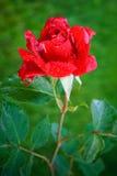 Rosa rossa con le gocce di rugiada su un fondo verde Fotografie Stock