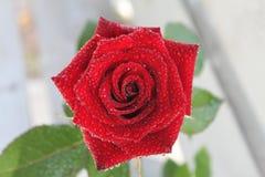 Rosa rossa con le gocce su un fondo bianco Immagine Stock