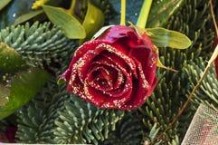 Rosa rossa con muschio ed il pino Fotografia Stock Libera da Diritti
