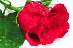 Rosa rossa con Waterdrops fotografie stock
