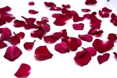 Rosa rossa degli ambiti di provenienza del primo piano sugli ambiti di provenienza bianchi Fotografia Stock