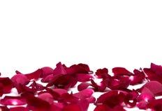 Rosa rossa del primo piano sugli ambiti di provenienza bianchi Immagine Stock