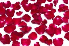 Rosa rossa del primo piano sugli ambiti di provenienza bianchi Immagini Stock Libere da Diritti