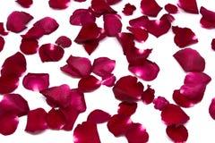 Rosa rossa del primo piano sugli ambiti di provenienza bianchi Fotografia Stock