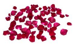 Rosa rossa del primo piano sugli ambiti di provenienza bianchi Immagini Stock