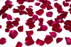 Rosa rossa del primo piano sugli ambiti di provenienza bianchi Immagine Stock Libera da Diritti