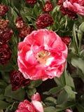 Rosa rossa della mostra del keukenhof di 2012 Immagine Stock Libera da Diritti