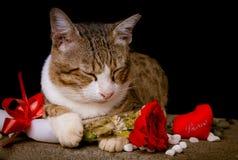 Rosa rossa della tenuta del gatto con fondo nero Immagini Stock Libere da Diritti