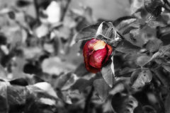 Rosa rossa di fioritura glassata Fotografia Stock Libera da Diritti