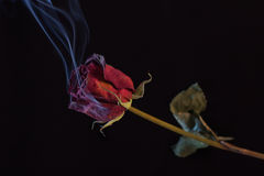 Rosa rossa di fumo Fotografia Stock Libera da Diritti