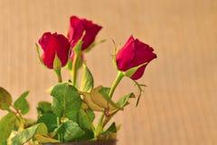 Rosa rossa di giorno del ` s del biglietto di S. Valentino, concetto di amore con la rosa rossa Fotografia Stock
