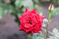 Rosa rossa dopo la pioggia immagine stock libera da diritti
