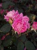 Rosa rossa dopo la pioggia Fotografie Stock Libere da Diritti
