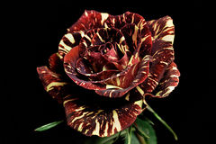 Rosa rossa e bianca Immagine Stock Libera da Diritti
