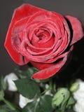 Rosa rossa e un gambo verde contro un fondo in bianco e nero Immagini Stock Libere da Diritti