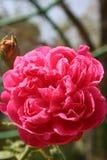 Rosa rossa: Fiore del biglietto di S. Valentino Immagini Stock
