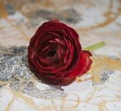 Rosa rossa, fiore, su un fondo colorato, macro immagine stock
