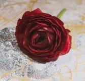 Rosa rossa, fiore, su un fondo colorato, macro fotografie stock libere da diritti