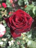 Rosa rossa, fiori fragranti del giardino Fotografia Stock Libera da Diritti
