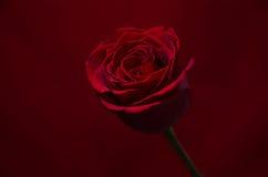 Rosa rossa - fondo rosso Fotografia Stock