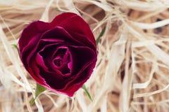 Rosa rossa a forma di del cuore Immagine Stock
