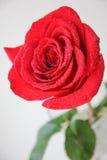 Rosa rossa fresca di mattina Immagini Stock