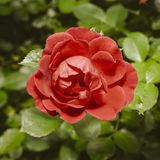 Rosa rossa in GA nel summerrden Fotografie Stock Libere da Diritti