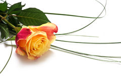 Rosa rossa gialla con la curva delle erbe isolate con ombra su w Immagine Stock