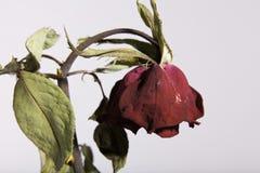 Rosa rossa guasto o appassente triste su bianco fotografia stock libera da diritti