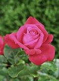 Rosa rossa i immagini stock libere da diritti