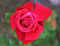 Rosa rossa i immagine stock libera da diritti