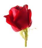 Rosa rossa i Fotografia Stock Libera da Diritti
