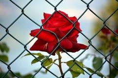 Rosa rossa incarcerata Fotografie Stock
