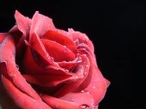 Rosa rossa irresistibile Fotografia Stock