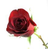 Rosa rossa isolata Fotografia Stock Libera da Diritti