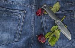 Rosa rossa in jeans Fotografia Stock