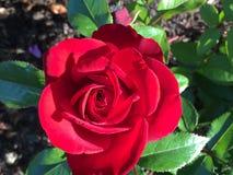 Rosa rossa luminosa in piena fioritura fotografia stock libera da diritti