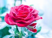Rosa rossa lussuosa Immagine Stock