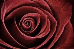 Rosa rossa - macro Fotografie Stock Libere da Diritti