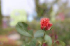 Rosa rossa molle per amore Fotografia Stock Libera da Diritti