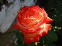 Rosa rossa molto bella con le gocce di rugiada immagine stock libera da diritti
