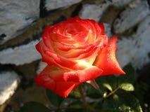 Rosa rossa molto bella con le gocce di rugiada Fotografie Stock Libere da Diritti