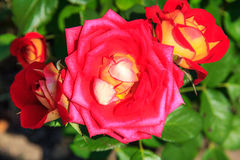Rosa rossa naturale Fotografie Stock